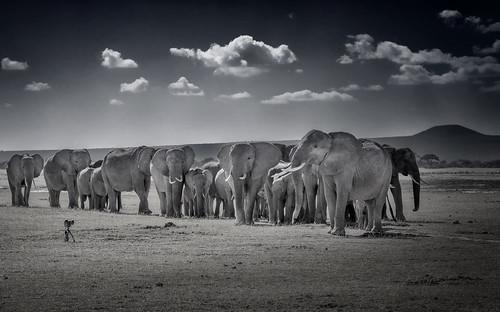 Elephants taking a selfie in Amboseli National Park, Kenya, East Africa