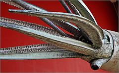 Calmar géant, Musée océanographique de Monaco (claude lina) Tags: claudelina france provencealpescôtedazur alpesmaritimes monaco musée museum muséeocéanographiquedemonaco calmar calamar