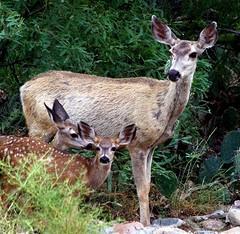 Doe with twin fawns (jimsc) Tags: muledeer doe twin fawns critter wildlife ngc desert sonorandesert arizona pimacounty tucson catalina summer september yard pentax kx jimsc