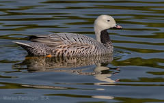 Emperor Goose -5915 (martinpettinger) Tags: goose reflections water reflection