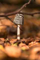 12112018-_TEC8949.JPG (Mas Martís) Tags: mushroom bolet seta pilz