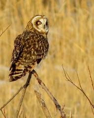 Tripod Birdie (diffuse) Tags: owl shortearedowl pg