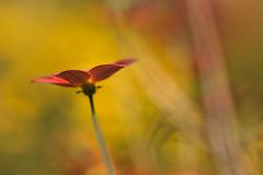 atmosphère (christophe.laigle) Tags: rouge christophelaigle fleur macro nature flower fuji xpro2 xf60mm red
