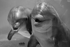 Joe&Anya (neku.chou) Tags: orque orca orcinus killer whale shamu cétacé cétacéans animal animals animales animaux animalia marin mer ocean saut jump spectacle marineland antibes bassin zoom inouk male gros nikon d5200 mammifère photo photographe photographie animalière animalier mammal nice france parc