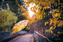 Askim, Norway 0376 - Yellow Autumn Leaves over the Bridge (IVAN MAESSTRO) Tags: yellow leaves bridge fall autumn landscape sony hdr maesstro askim norway