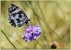 Lady butterfly.... (Susyfox) Tags: natue macro insect butterfly flower nature susyfox