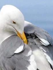 Western gull grooming (Ruby 2417) Tags: gull bird wildlife nature yellow beak monterey bay aquarium ocean sea coast