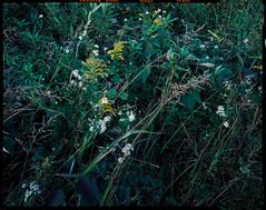 Wildflowers on 4x5 Film (Pali K) Tags: analog filmisawesome filmphotography filmisnotdead fujifilm velvia50 4x5film 4x5photography largeformat fujinon90mmf8 cha 45n2 flower flowers wildflower colorslide colorfilm jobocpp2 tetenale6 ishootfilm istillshootfilm ilovefilm