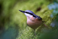 Peekaboo (Mark Buchan Jones) Tags: daisynook countrypark bardsley nuthatch sittaeuropaea woodland foliage bluegreyback blackeyestripe buffunderparts bill long thin eurasiannuthatch manchester uk oldham ashtonunderlyne black buff blackblue pose white