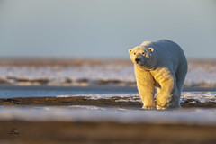 Early Riser (Glatz Nature Photography) Tags: alaska arctic arcticalaska barterisland kaktovik nanook nanuk nanuq northamerica northslope polarbear ursusmaritimus glatznaturephotography nikond850 wildlife wildanimal eyecontact eyelevelview winter