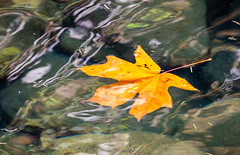 Molalla River in autumn (BLMOregon) Tags: blm bureauoflandmanagement molalla river landscape recreation hiking corridor autumn fall trees color fallen bigleaf maple acer macrophyllum leaves leaf