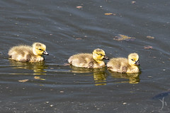 Canada goslings (vyhphotography) Tags: canoneos80d kansas wichita river arkansasriver goose gosling