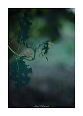 2018/9/8 - 19/21 photo by shin ikegami. - SONY ILCE‑7M2 / Lomography New Jupiter 3+ 1.5/50 L39/M (shin ikegami) Tags: macro マクロ 紫陽花 flower 花 井の頭公園 吉祥寺 summer 夏 sony ilce7m2 sonyilce7m2 a7ii 50mm lomography lomoartlens newjupiter3 tokyo sonycamera photo photographer 単焦点 iso800 ndfilter light shadow 自然 nature 玉ボケ bokeh depthoffield naturephotography art photography japan earth asia