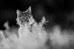 'Fabulous' (Jonathan Casey) Tags: cat black white tabby mono nikon d850 sigma 135mm f18