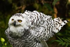 Snowy Owl 10 (cypher40k Photography) Tags: bird color colour nikon owl snow snowy snowyowl toronto torontozoo zoo