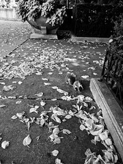 Local (ancientlives) Tags: chicago illinois il usa travel trips local nature fauna squirrels squirrel museumcampus fieldmuseum downtown southloop walking leaves autumn october 2018 thursday blackandwhite bw mono monochrome