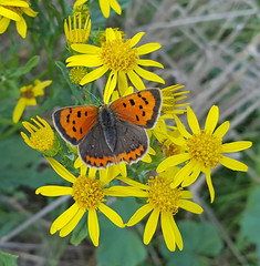 Small Copper Butterfly (Lycaena phlaeas) (3) (alisondickens1) Tags: smallcopperbutterfly lycaenaphlaeas