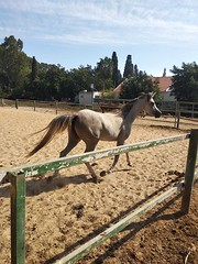 13 (redi3103) Tags: egyptian arabian horse for sale buy champion