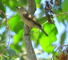 Pachycephala simplex simplex 1 (barryaceae) Tags: east point reserve monsoon forest walk darwin nt northern territory ausbird ausbirds pachycephala simplex top end grey whistler