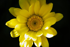 Gele kamille - Golden Marguerite (Anthemis tinctoria) (brigittefotografie) Tags: appeltern herfstkleuren autumncolors najaar fall oktober octobre macro bloemen flowers tuinen gardens planten plants bloesem blossem