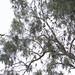 Drara Parrots on Eucalyptus-2