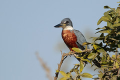 Ringed Kingfisher (Greg Lavaty Photography) Tags: ringedkingfisher megaceryletorquata brazil august matogrosso pantanal wetlands outdoors bird nature wildlife