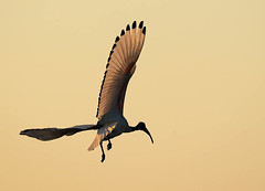 Sacred ibis in flight at sunset - Kafue National Park - Zambia (lotusblancphotography) Tags: africa afrique zambia zambie nature wildlife faune safari animal oiseau bird ibis flight sunset