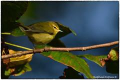 Tennessee warbler (RKop) Tags: warbler warblers raphaelkopanphotography armlederpark cincinnati ohio wildlife