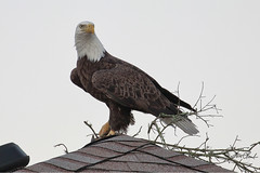 Bald Eagle (TomLamb47) Tags: nature wildlife bird baea bald eagle nest material branch roof canon 1d4 100400mm