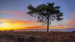 Lonesome Pine (snomanda) Tags: sun sunrise moody sky dramatic horizon idyllic twilight dusk pine clouds tree fall autumn autumnal blue forest heathland ashdown england east sussex aonb wych cross nature park sunset
