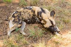 IMG_0275 (kijani_lion) Tags: lion safari park african wild dog south africa