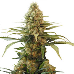 chronic-widow-seeds_large (Watcher1999) Tags: chronic widow seeds marijuana cannabis thc weed medical growing strain plantweed weeds smoking ganja legalize it