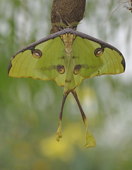 Moon Moth Butterfly (Phasmomantis) Tags: