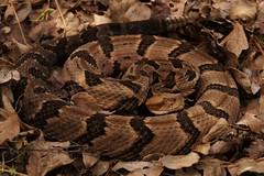 Canebrake (Crotalus horridus) (Ian Deery) Tags: canebrake cane timber rattlesnake crotalus horridus herp herping rattle venomous viper ian deery sony