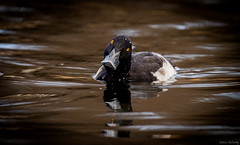 Tufted Duck (Melissa M McCarthy) Tags: tuftedduck duck bird waterfowl waterbird animal nature wildlife wild outdoor portrait swimming water fall colors curious inquisitive male yellow eyes stjohns newfoundland canada canon7dmarkii canon100400isii