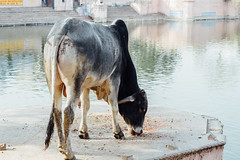 Cow in Mathura India (AdamCohn) Tags: adam cohn uttar pradesh india mathura vrindavan cow holi wwwadamcohncom adamcohn uttarpradesh