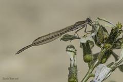Sympecma fusca. Adult Male (Ricardo Menor) Tags: odonatos odonata zygópteros libélulas damselflies damselfly caballitosdeldiablo airelibre iluminaciónnatural insecto macrofotografía 2018 canon60d sympecmafusca machoadulto