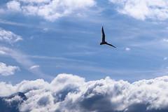 mouette7 (marcel.photo) Tags: möwe mouette vogel bird vevey schweiz switzerland genfers lac lémon himmel sky