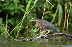 Greenie in the Marsh (hd.niel) Tags: greenheron herons greenie marsh stream birds nature wildlife ontario photography