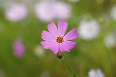 The remainings of summer (Baubec Izzet) Tags: baubecizzet pentax bokeh nature flower