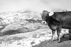 Oink! 2 (gato-gato-gato) Tags: alpen alpin alpine berneroberland berneseoberland gebirge grindelwald hochgebirge jungfrau jungfraujoch jungfrauregion leica leicammonochrom leicasummiluxm35mmf14 mmonochrom messsucher mondlandschaft monochrom swiss topofeurope wandern wanderung black digital flickr gatogatogato gatogatogatoch hike hiking rangefinder tobiasgaulkech white wwwgatogatogatoch bern schweiz ch manualfocus manuellerfokus manualmode schwarz weiss bw blanco negro monochrome blanc noir switzerland suisse svizzera sviss zwitserland isviçre landschaft landscape landscapephotography outdoorphotography berge mountains mountain fels stein stone rock