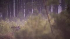 .. (jesscser) Tags: natural wildlife deer cervidé cerf biche brame landes gascogne pin brume brouillard