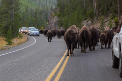 2018-09-trip-3-yellowstone-4-wildlife-mjl-28 (Mike Legeros) Tags: wyoming yellowstone nationalpark bison bisonjam buffaloroam