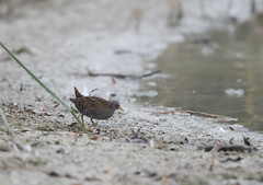 Spotted Crake Wilstone-7233 (seandarcy2) Tags: crake spotted herts uk wilstone birds wildlife