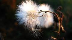 Close-up. (ALEKSANDR RYBAK) Tags: крупный план макро растение сорняк семена трава осень природа солнечный свет closeup macro plant weed seeds grass autumn nature solar shine