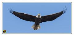 Eagle coming at me (Crested Aperture Photography) Tags: eagles eagle birds birdsofprey susquehanna susquehannariver conowingodam conowingo shureslanding raptor raptors haliaeetusleucocephalus