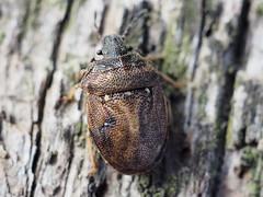 Turtle Shieldbug - Podops inuncta (Fred's Uncle) Tags: insect bug shieldbug hcpnr turtleshieldbug taxonomy:order=hemiptera taxonomy:suborder=heteroptera taxonomy:family=pentatomidae taxonomy:binomial=podopsinuncta