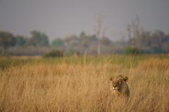 Lion Waiting to Attack (Mark Zukowski) Tags: lion animal botswana africa grass ngc