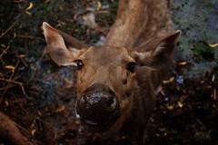 Smile for the camera :D (nateshmlore) Tags: animal zoo wildlife nature smile happy deer sambar