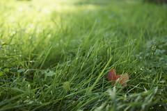 _DSC0365 (marco santagostino) Tags: natura nature pavia leaves foglie erba grass verde green rosso red orange arancione sonya7ii samyang samyangfe35mmf28af 35mm